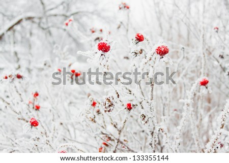 Beautiful red rose hip with frost in winter, white and bright - stock photo