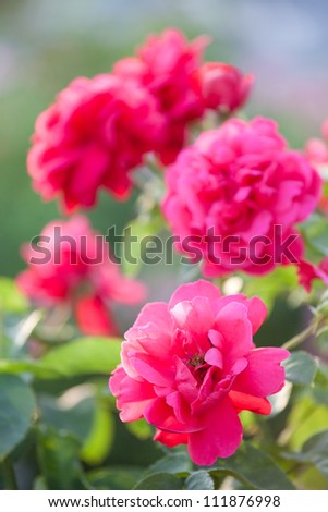 Beautiful red rose in a garden - stock photo