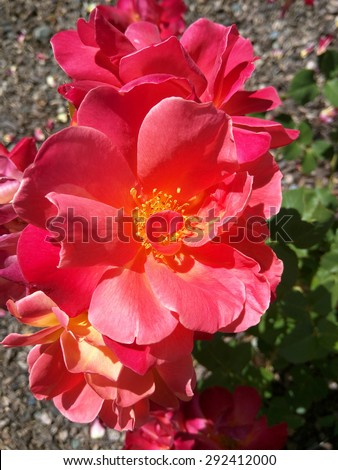 Beautiful red rose in a garden on sunny day