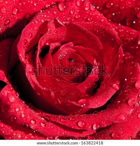 Beautiful red rose in dew drops on a dark background - stock photo
