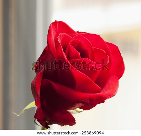 Beautiful red rose in strict close up, defocused background - stock photo