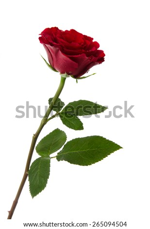 beautiful red rose isolated on a white - stock photo