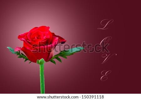 Beautiful red rose love - stock photo