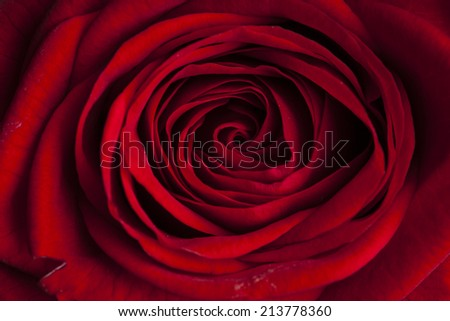 beautiful red rose macro shot close up - stock photo