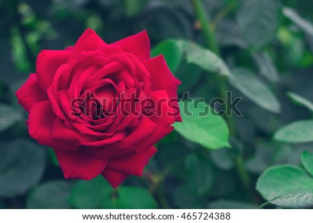 Beautiful red rose on a background of leaves