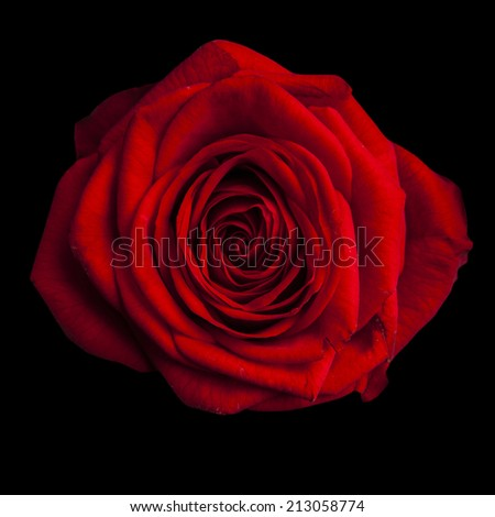 beautiful red rose on black background - stock photo