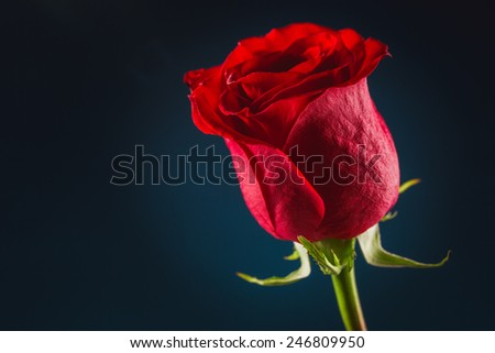 Beautiful red rose on black background! - stock photo
