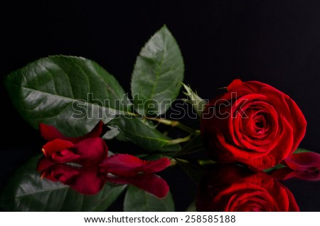 beautiful red rose on black background.Photo with reflection - stock photo