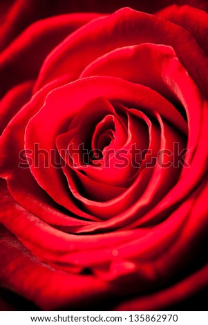 Beautiful Red Rose Vith Vignette Effect