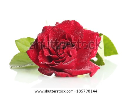 beautiful red rose with drops isolated on white - stock photo