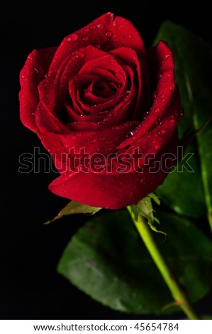 Beautiful red rose with rain drops on black background - stock photo