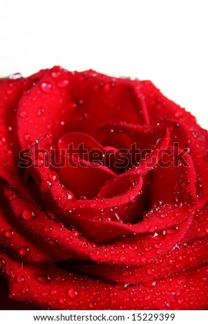 Beautiful red rose with water droplets (isolated on white background)