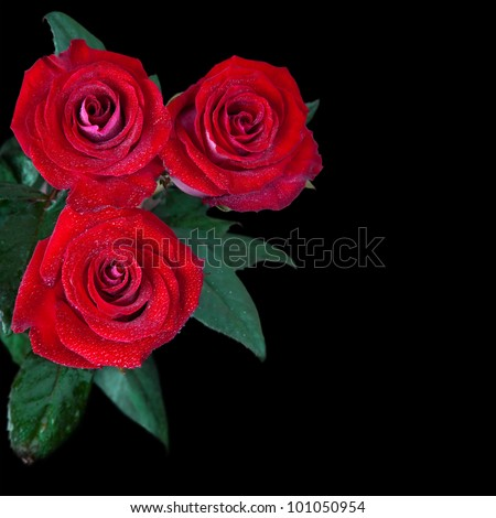 beautiful red roses isolated on black background - stock photo