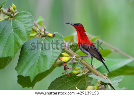Beautiful red sunbird, Crimson Sunbird (Aethopyga siparaja) perching on a branch.