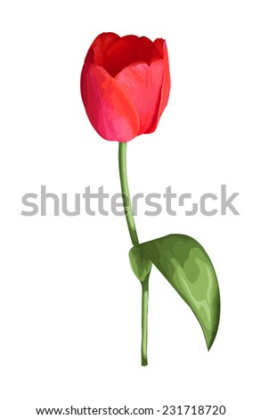 beautiful red tulip  flower isolated on white background. Design element for decorating greeting cards and invitations to the wedding, birthday. additional format in the profile of the artist