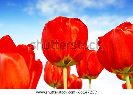 Beautiful red tulip flowers, floral background - stock photo