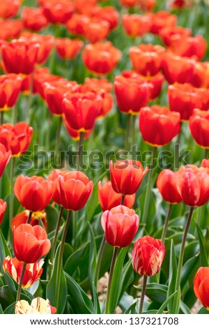 Beautiful red tulips blossoms in spring