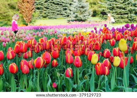 Beautiful red tulips in garden  - soft focus ,useful as a background
