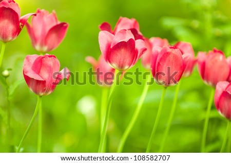 Beautiful Red Tulips on Flower Bed in the Garden in Spring