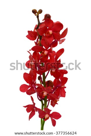 beautiful red vanda orchid flowers, isolated on white background