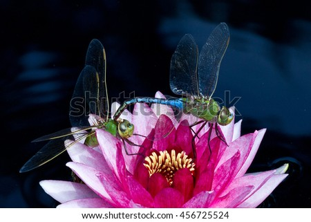 beautiful red water lily with mating dragon flies against black background - stock photo