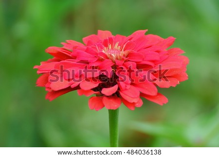 Beautiful red zinnia flower on nature green background in my flower garden on sunshine day, Thailand. Full frame.