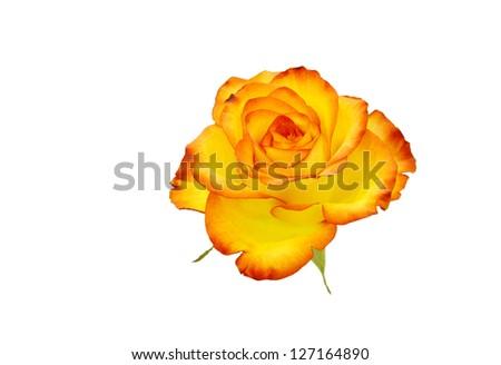 Beautiful Reddish yellow rose isolated on white - stock photo