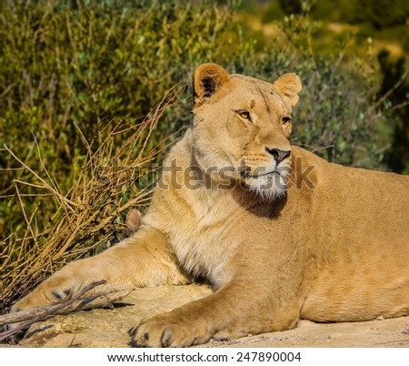 Beautiful regal lioness