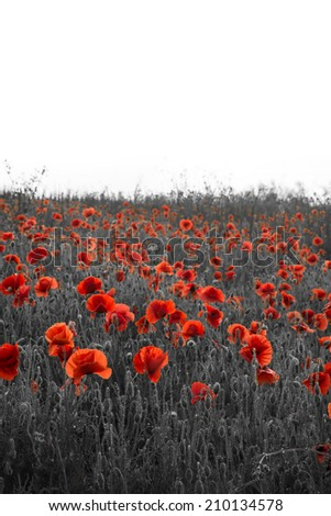 Beautiful Remembrance Day poppy field landscape  - stock photo