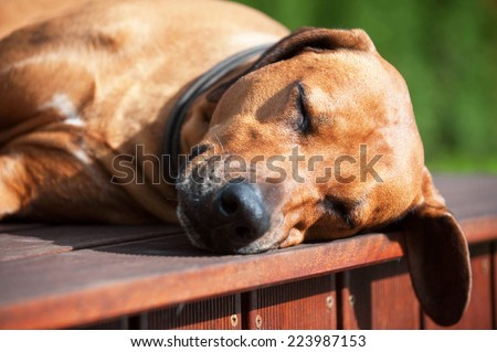 Beautiful Rhodesian Ridgeback dog is sleeping outside in the sun. The cute dog is lying down and snoozing with closed eyes.