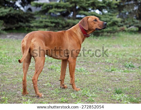 Beautiful Rhodesian Ridgeback dog standing on a natural green background