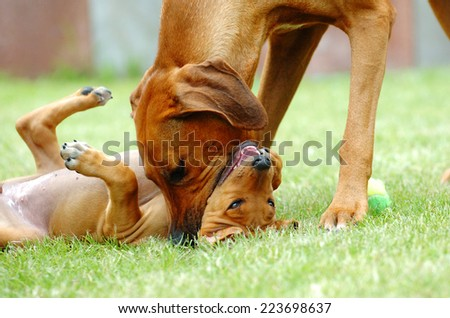 Beautiful Rhodesian Ridgeback female dog is teaching her offspring gently. The mother is biting the puppy in its muzzle to socializing it. They are rolling together on the green grass in garden.
