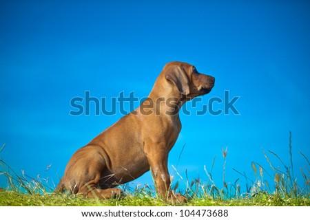 Beautiful Rhodesian ridgeback puppy outdoors - stock photo