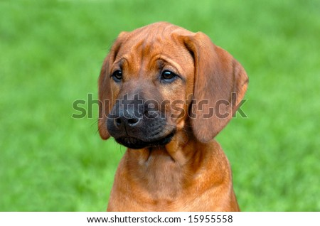 Beautiful rhodesian ridgeback puppy with nice expression in head