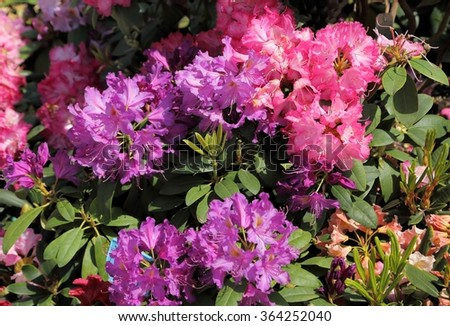 Beautiful rhododendron pink flower bushes garden stock photo beautiful rhododendron pink flower bushes in a garden mightylinksfo