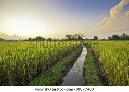 beautiful rice field in thailand - stock photo