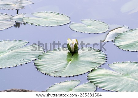 Beautiful rich colors of a waterlily on the water's surface. This beautiful Water Lily was photographed in the shade of a Weeping Willow tree on a calm day with very soft light.  - stock photo