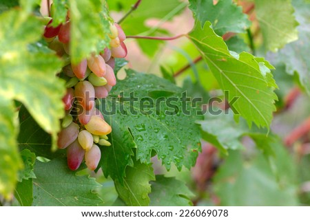 beautiful ripe juicy grape as symbol of the harvest - stock photo