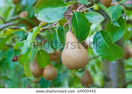 Beautiful ripe pears on branch