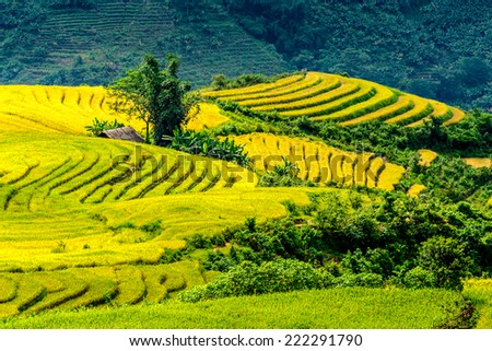 Beautiful ripen rice terraced fields on top of a mountain.  Location: Y Ty, Lao Cai province, Vietnam. - stock photo