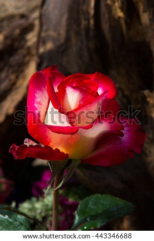 Beautiful romantic two colored Rose Blossom in front of dark, wooden background.