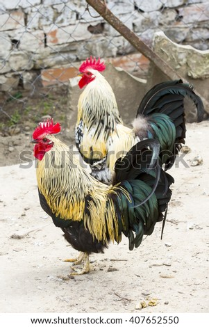 beautiful rooster crowing with red crest