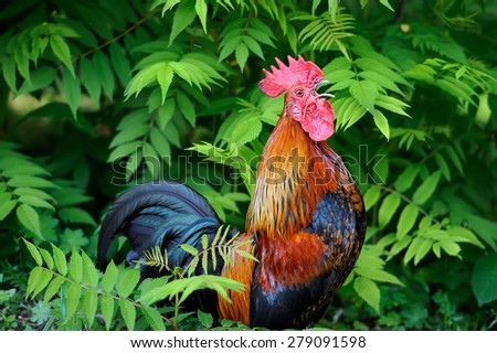 Beautiful Rooster on nature background. Farm animal - stock photo