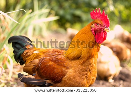 Beautiful Rooster on nature background. Free Range Cock and Hens - stock photo