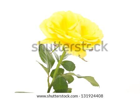 Beautiful rose - stock photo