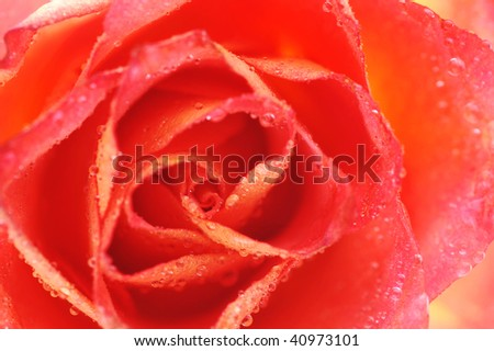 beautiful rose  and water drops on  white background