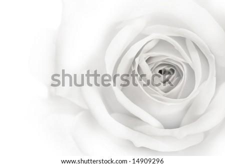 Beautiful Rose Background - stock photo