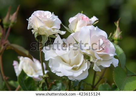 Beautiful rose, close up, in a garden - stock photo