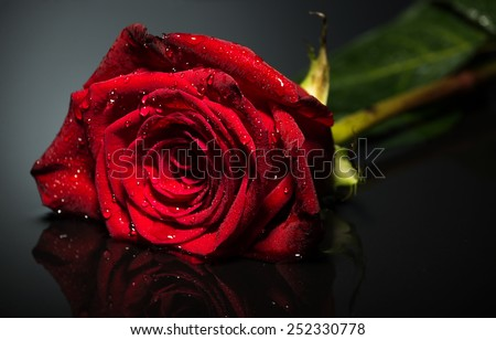Beautiful rose close-up photo  black background - stock photo