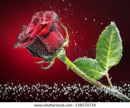 Beautiful rose close-up photo with carbon dioxide bubbles, red-black background - stock photo